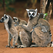 Ring-tailed Lemur (Lemur catta) adults and young. Madagascar
