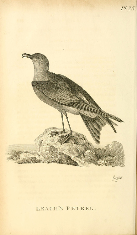 Leach's storm petrel or Leach's petrel (Oceanodroma leucorhoa) from the 1825 volume (Aves) of 'General Zoology or Systematic Natural History' by British naturalist George Shaw (1751-1813). Shaw wrote the text (in English and Latin). He was a medical doctor, a Fellow of the Royal Society, co-founder of the Linnean Society and a zoologist at the British Museum. Engraved by Mrs. Griffith