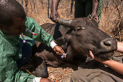 "African Buffalo (Syncerus caffer) blood sample<br /> Majete Wildlife Reserve<br /> MALAWI, Africa<br /> Sedated buffalo to be tested for foot-and-mouth disease in a trans-border veterinary effort. Tests include ""Probang"" throat scrape and blood test. <br /> Reserve proclaimed in 1955, is situated in the Lower Shire Valley, a section of Africa's Great Rift Valley, covering an area of 700 km². Vegetation is diverse, ranging from moist miombo woodland to dry savannah."