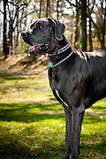 An adult Great Dane stands strong and proud.