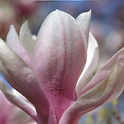 The bright pink and white petals of a Magnolia flower in Spring.