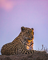 Leopard at sunset at Sabi Sands Game Preserve in South Africa.