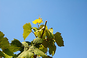 Israel, Judea Hills, Tzora winery and vineyards. A plot of Gewurtzstraminer grapes planted in terra cotta near Shoresh June 2007, 6 weeks before harvest the clipping of the top branches can be seen