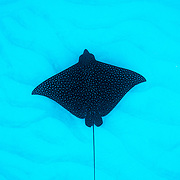 A spotted eagle ray (Aetobatus narinari) glides over a sandy seabed in The Bahamas.