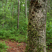 Lichen-covered tree in Harold Parker State Forest, Andover, Massachusetts.