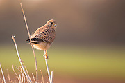 Common kestrel (Falco tinnunculus) perched on a branch. This bird of prey is a member of the falcon (Falconidae) family. It is widespread in Europe, Asia, and Africa, and is sometimes found on the east coast of North America. Photographed in Israel in December