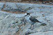 A family of gray jays flew down to check me out as I hiked Natches Peak Loop at Mt Rainier Wilderness.