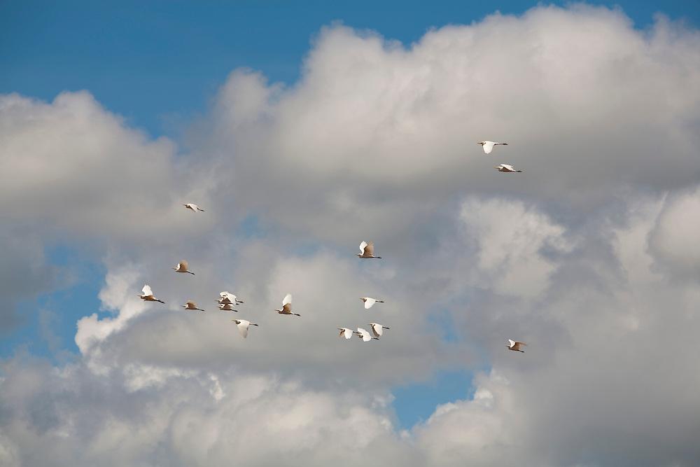 Bom Despacho_MG, Brasil...Bando de passaros voando em uma fazenda em Bom Despacho...The birds flying over the farm in Bom Despacho...Foto: LEO DRUMOND / NITRO