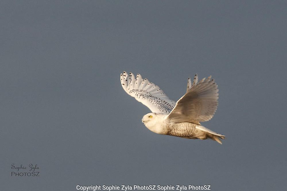 Snowy Owl Flight Glance