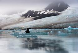 Black Guillemot (Cepphus grylle) in Lilliehöksfjorden, Svalbard