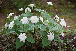 Trillium grandiflorum 'Flore Pleno' in the woodland. White Wake-robin