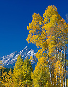 Grand Teton and Aspen, Grand Teton National Park, Wyoming