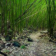 A Bamboo Stand along the Hiking Trail Ohe'o Gulch on Maui, HI