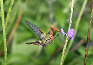 Tufted Coquette - Lophornis ornatus