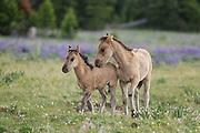 Wild mustang foals in a field of wildflowers