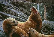Steller sea lions, Kenai Fjords National Park, Alaska