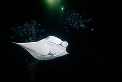 Manta Ray, Mobula alfredi, and Hawaiian Flagtail or Aholehole in Hawaiian, Kuhlia sandvicensis, feeding on plankton at night, endemic species to Hawaii, and highly prized as food in Hawaii, off Kona Coast, Big Island, Hawaii, Pacific Ocean