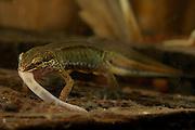 Palmate newt (Triturus helveticus) | Während der ans Wasser gebundenen Fortpflanzungszeit der Molche wird nicht gefastet: dieses Fadenmolch-Männchen (Triturus helveticus) verschlingt einen Wurm. Auch Insekten und Schnecken werden von unseren einheimischen Molcharten erbeutet.