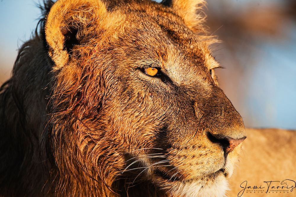 A close-up portrait of the face of a young male lion (Panthera Leo), Khwai River, Botswana,Africa