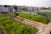 Stanford Avalon Gardens is a 7.6 acre community farm with over 200 plots. The site was started by farmers dislocated by the loss and bulldozing of the South-Central Urban Farm in 2006. Farmers grow many different fruits and vegetables as well as Mexican herbs and spices such as Halache, Pipicha, Epazote, Papalo and Chipiline. Watts, Los Angeles, California, USA