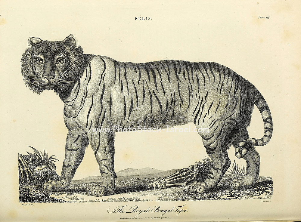 Royal Bengal Tiger Copperplate engraving From the Encyclopaedia Londinensis or, Universal dictionary of arts, sciences, and literature; Volume VII;  Edited by Wilkes, John. Published in London in 1810