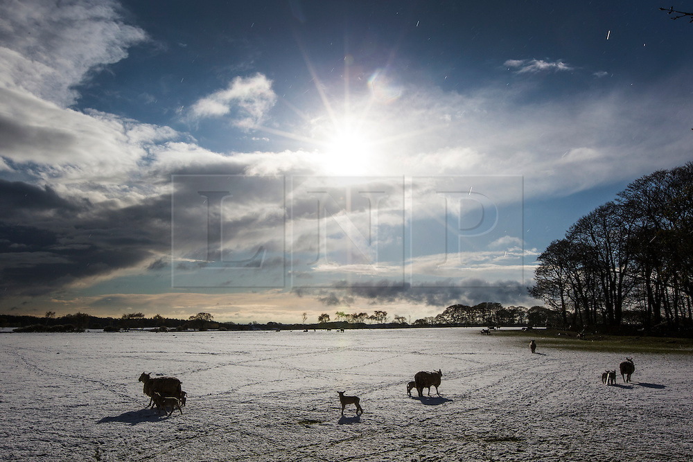 © Licensed to London News Pictures. 29/04/2016. Leeds UK. Picture shows Lamb's in the snow this morning just outside of Leeds. Leeds woke to a covering of snow this morning & is expected to get further snow showers over the weekend. Photo credit: Andrew McCaren/LNP