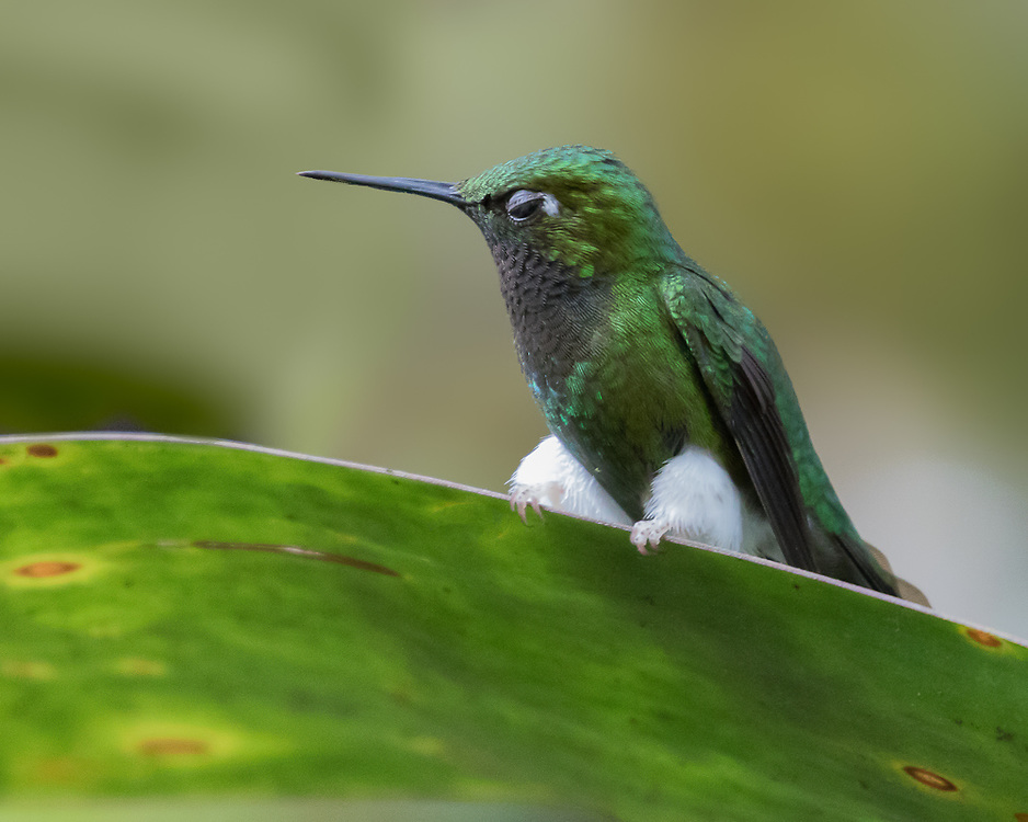 Ocreatus underwoodii, Ecuador