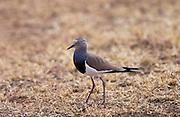 Black-winged Lapwing, Ngorongoro, Tanzania, East Africa