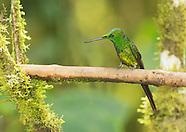 Empress Brilliant Hummingbird, Heliodoxa imperatrix