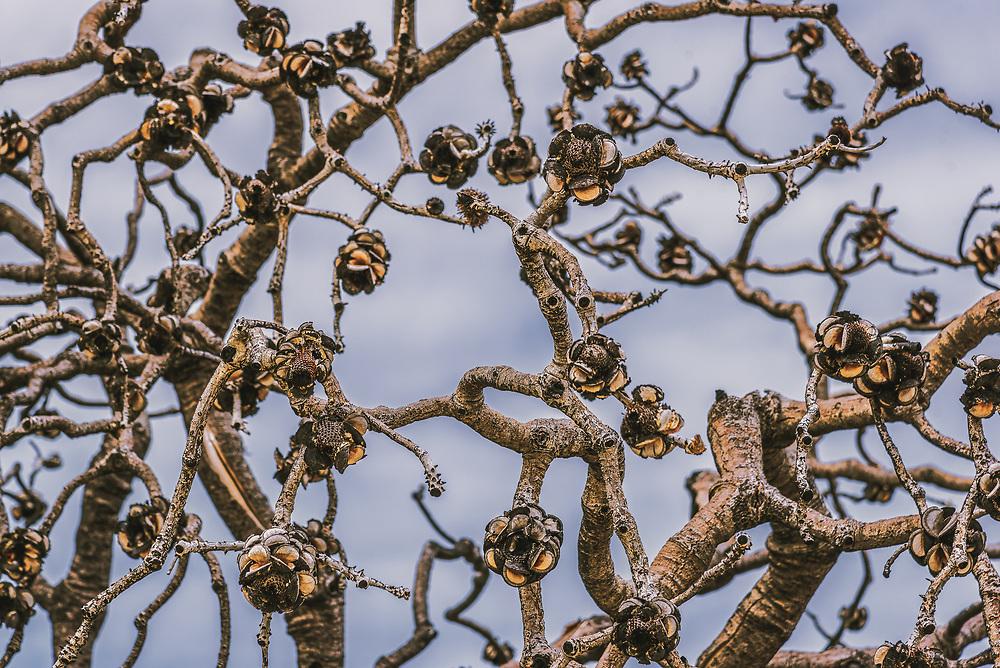 Stone Roses in Cape Arid National Park, Western Australia