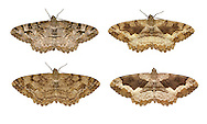 70.265 (1941)<br /> Mottled Beauty - Alcis repandata