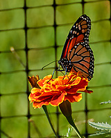 Monarch Butterfly feeding on a Marigold flower. Image taken with a Nikon 1 V3 camera and 70-300 mm VR lens.