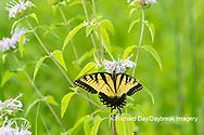03023-03306 Eastern Tiger Swallowtail (Papilio glaucus) on on Wild Bergamot (Monarda fistulosa) Marion Co. IL