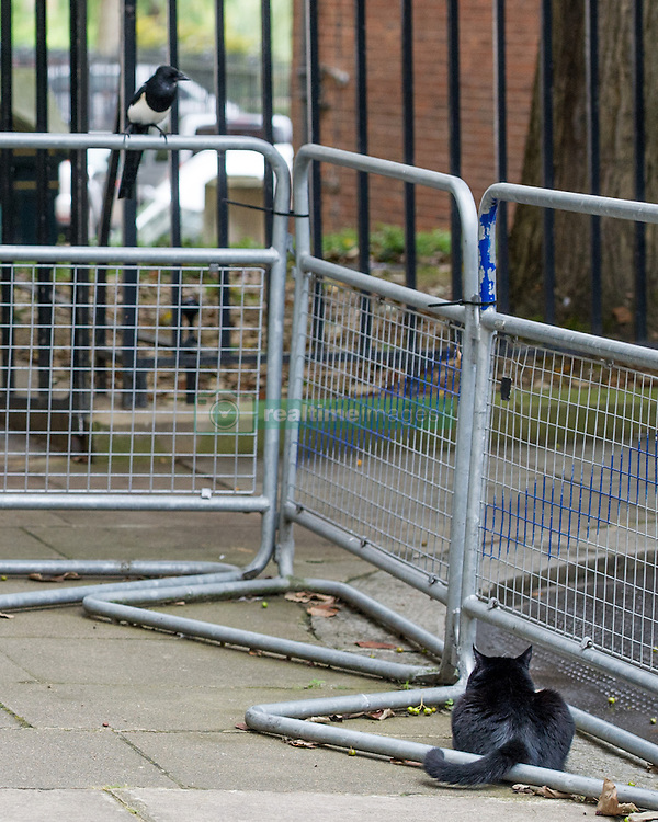 September 6, 2016 - London, England, United Kingdom - Image ©Licensed to i-Images Picture Agency. 06/09/2016. London, United Kingdom. Palmerston the cat, resident Chief Mouser of the Foreign & Commonwealth Office at Whitehall unsuccessfully stalks a Magpie on Downing Street. Picture by Pete Maclaine / i-Images (Credit Image: © Pete Maclaine/i-Images via ZUMA Wire)