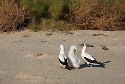 Masked Booby parents guard their young chick at Adele Island, the most remote island off the Kimberley coast of Western Australia.