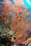 Colourful sea fan (Melithaea sp.) with crinoid, Restorf Island, Kimbe bay