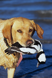 Stock photo of a hunting dog returning with a duck in its mouth