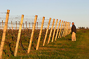 A man standing in the vineyard looking along the rows of vines with the wooden supporting poles and metal wires forming a pattern, at sunset. Bodega Carlos Pizzorno Winery, Canelon Chico, Canelones, Uruguay, South America