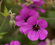 A close-up of Geranium psilostemon in the double borders at Newby Hall, Ripon, North Yorkshire, UK