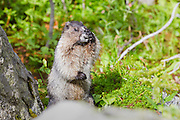 A hoary marmot (Marmota caligata) washes its face in Revelstoke National Park, British Columbia, Canada.