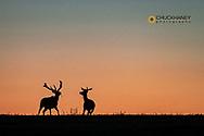 Bull elk slihouetted against the sunrise sky in Theodore Roosevelt National Park, North Dakota, USA