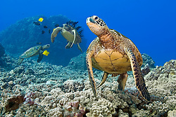 green sea turtles, Chelonia mydas, endangered species, being cleaned by yellow tangs, Zebrasoma flavescens, and gold-ring surgeonfish, Ctenochaetus strigosus, Kona Coast, Big Island, Hawaii, USA, Pacific Ocean