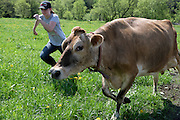 Emma Deome, 17, chases a Jersey cow that broke through a fence into the wrong pasture on the Premier View herd's first day out on their new grass in South Randolph, Vt., Wednesday, May 25, 2016. In their first days on the new farm, the Premier View cows had to learn to drink from a different watering device, get used to a new feeding schedule and learn their way to the rotating order of pastures. (Valley News - James M. Patterson) Copyright Valley News. May not be reprinted or used online without permission. Send requests to permission@vnews.com.
