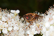 Drone fly (Eristalis tenax) cleaning, while on some Pyracantha flowers.