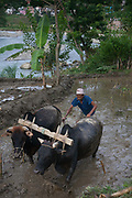 A farmer is plowing a rice paddy on a terrace above the river in Dhading to get it ready to plant rice the traditional way using buffalos and a plow. Most farming in Nepal is done this way with hardly any machanised aid  to be found anywhere in the country.