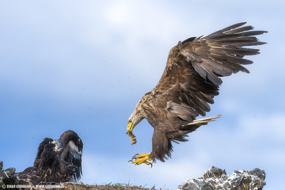 This white-tailed Eagle (Haliaeetus albicilla), also known as the Sea Eagle is landing with a duckling to feed the youngs.
