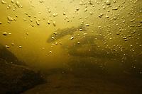 Atlantic salmon (Salmo salar)<br /> Spawning migration upstreams, Umeälven, Sweden<br /> Atlantischer Lachs (Salmo salar)<br /> Laichwanderung, Umeälven, Schweden<br /> Saumon atlantique (Salmo salar)<br /> Migration dans la rivière Umeälven, Suède<br /> 19-07-2009