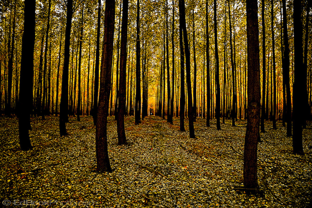 Hybrid Poplar grove, (Populus deltoides) Cottonwood, Boardman, Oregon, USA dark tree trunks