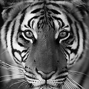 Black/White Tigers
