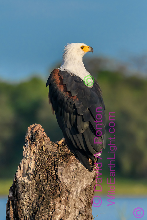 African fish eagle perched on stump with Chobe River in the background, Chobe National Park, Botswana, © David A. Ponton